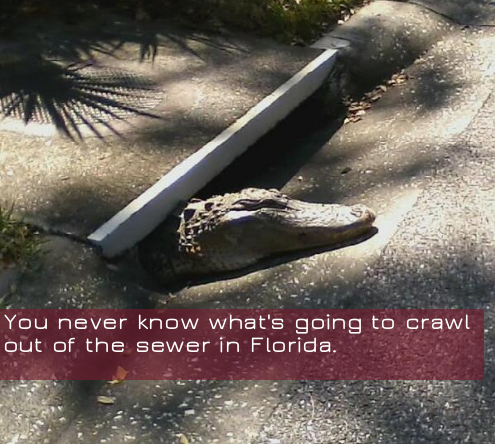 gator coming out of sewer